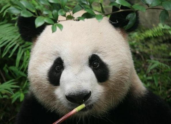 大熊貓認臉