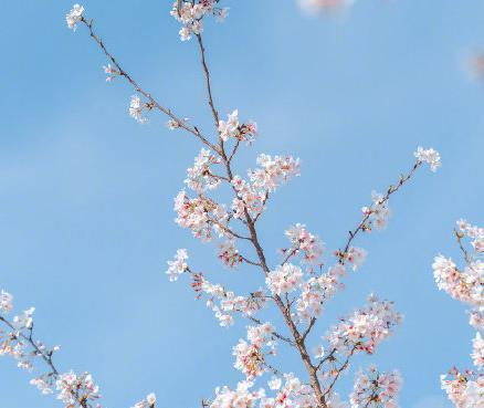 春日樱花壁纸大赏